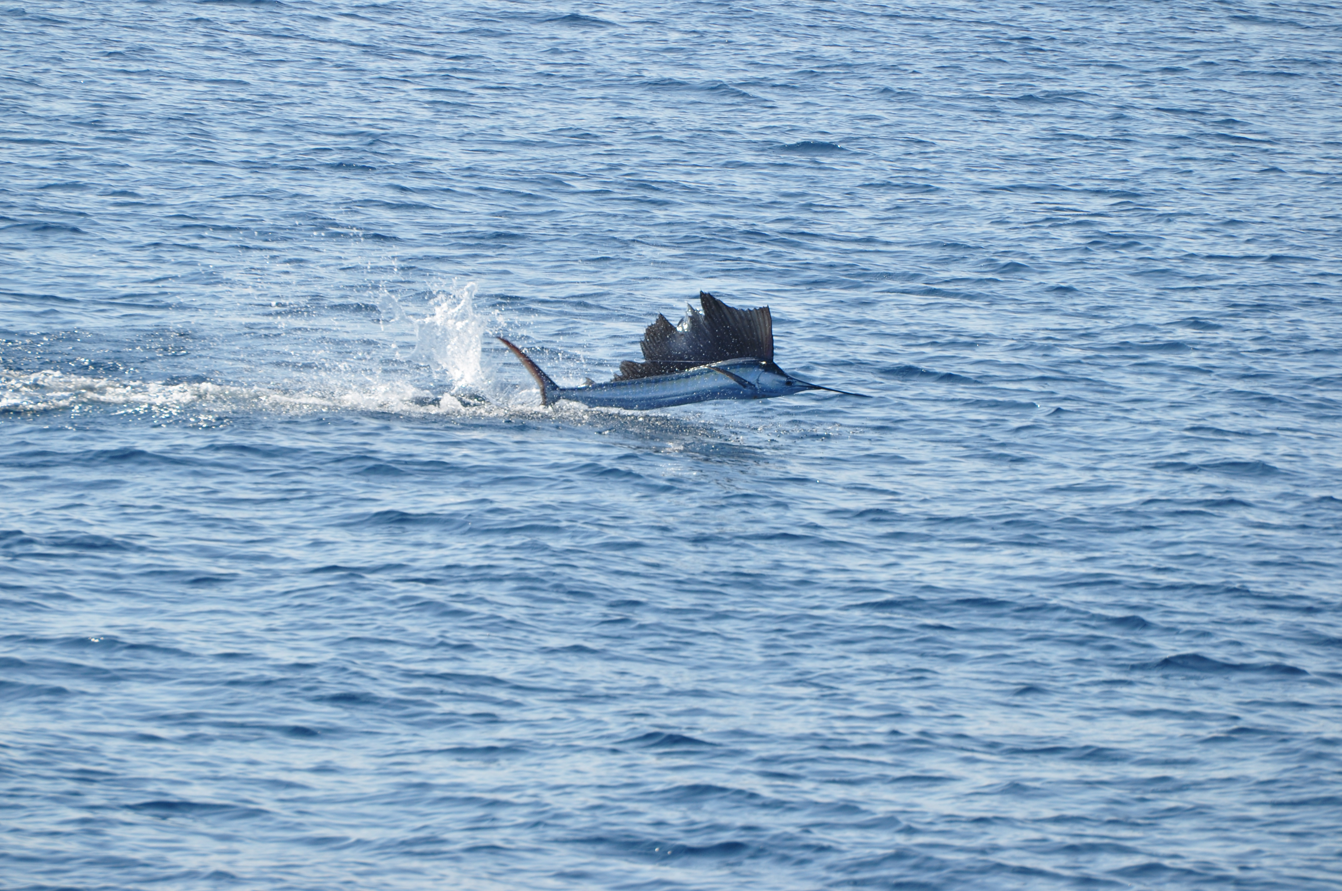 Outer banks charters sailfish summer for Outer banks fly fishing