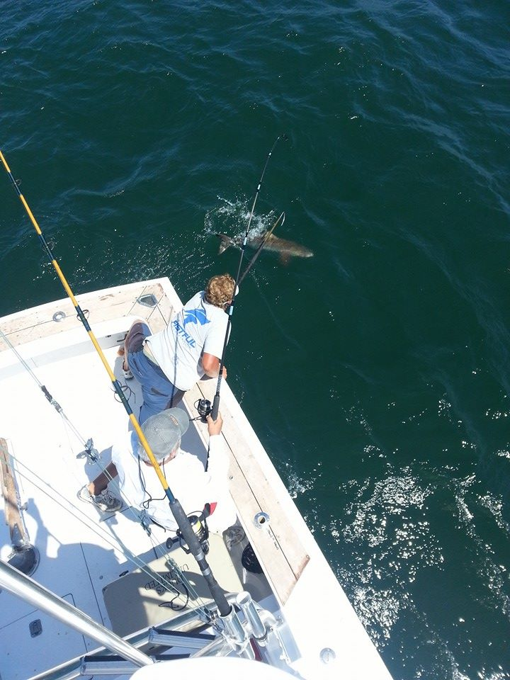Outer banks fishing report back to the cobia for Obx fishing report